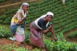 cultivadoras