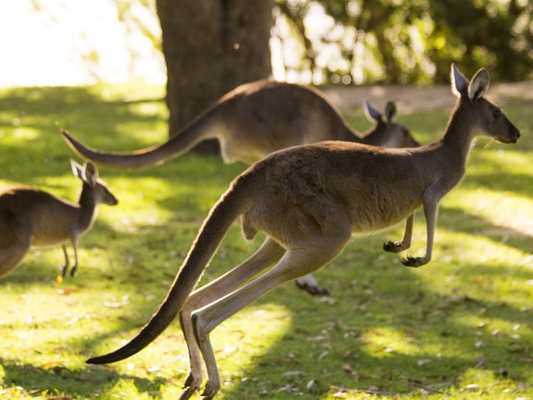 kangaroo-1409660_1920